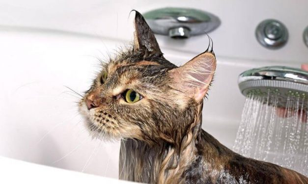 How Often Should You Bathe a Cat | A Complete Guide to Cat Grooming