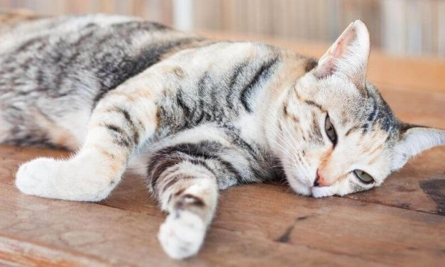 The Perfect Way Of How to Euthanize a Cat at Home without a Vet