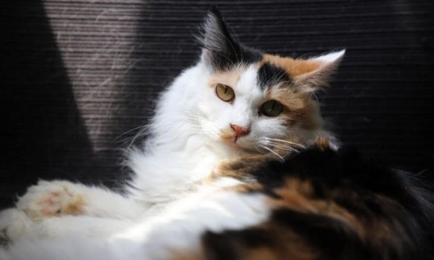 Know The Facts About How Much are Male Calico Cats Worth?