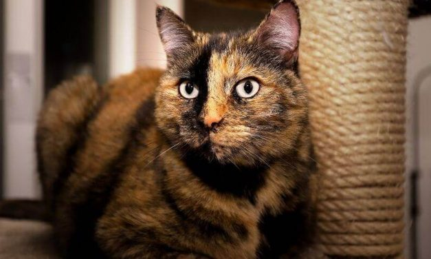 Surprising Facts About Life Span of a Tortoiseshell Cat You Should Know