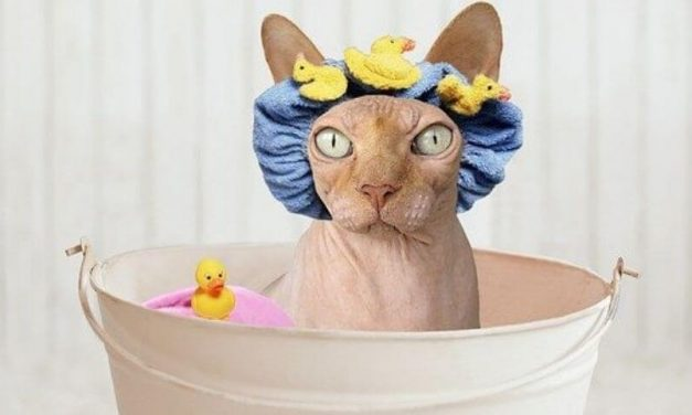 The Best Shampoo for Sphynx Cats | A Comprehensive Buyer's Guide