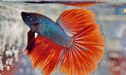 How Long Can a Betta Fish Go Without Food | Betta Fish Care Guide