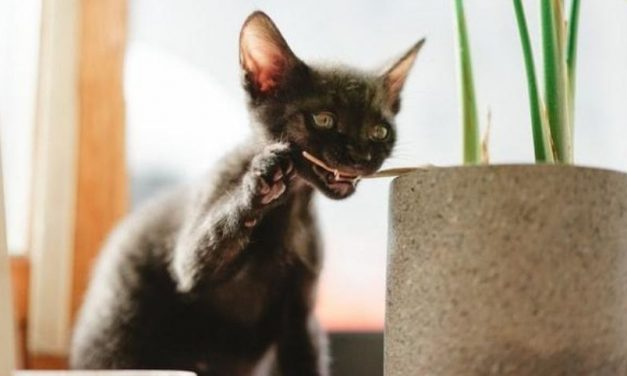 Werewolf Cat Breed | Get to Know the Facts About Lykoi Cat